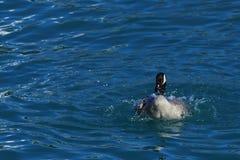 Os gansos canadenses estão agitando seus corpos alegremente no lago azul fotos de stock royalty free