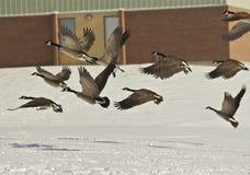 Os gansos canadenses tomam o vôo Imagens de Stock Royalty Free