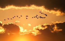 Os gansos canadenses voam no por do sol Imagens de Stock