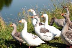 Os gansos cinzentos e brancos. Imagens de Stock Royalty Free