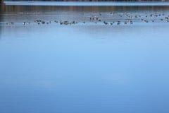 Os gansos de Canadá descansam em águas azuis do reservatório em Connecticut fotografia de stock royalty free