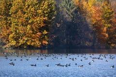 Os gansos de Canadá descansam no reservatório com folhagem de outono em Connecticut fotografia de stock royalty free