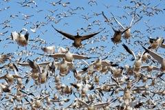 Os gansos de neve da migração tomam o voo imagens de stock royalty free