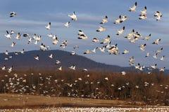 Os gansos de neve da migração voam acima imagem de stock