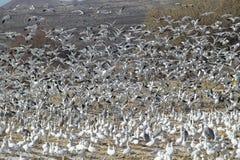 Os gansos de neve e os guindastes de Sandhill tomam o voo sobre um campo congelado na reserva natural de Bosque del Apache Nacion Imagens de Stock