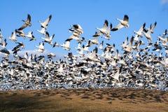 Os gansos de neve tomam o vôo Fotografia de Stock