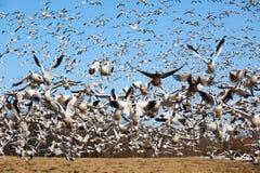 Os gansos de neve tomam o vôo imagens de stock royalty free