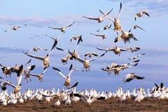 Os gansos de neve tomam o vôo imagens de stock
