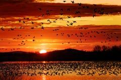 Os gansos de neve tomam o voo no nascer do sol foto de stock