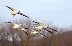 Os gansos de neve voam dentro aterrando Fotos de Stock Royalty Free