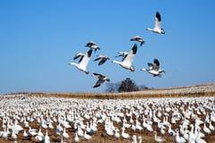 Os gansos de neve voam sobre foto de stock royalty free