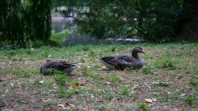 Os gansos de pato bravo europeu emparelham-se/anser do Anser que encontram-se na grama que descansa com o lago no fundo imagem de stock royalty free