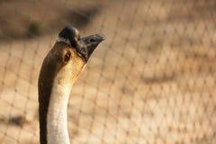Os gansos domésticos, família do ganso pastam no terreiro tradicional da vila, alimentação do ganso na jarda de exploração agríco Fotos de Stock Royalty Free