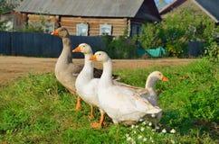 Os gansos domésticos são brancos e cinzentos Imagem de Stock