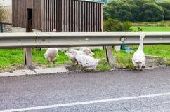 Os gansos estão andando ao longo da estrada Foto de Stock Royalty Free