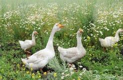 Os gansos estão andando em um prado Imagens de Stock Royalty Free