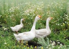 Os gansos estão andando em um prado Foto de Stock