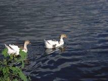 Os gansos estão nadando no lago azul fotografia de stock royalty free