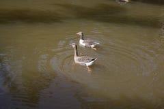 Os gansos estão nadando no lago foto de stock