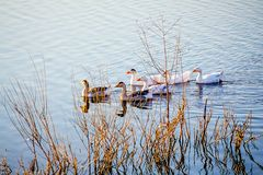 Os gansos flutuam ao longo do rio entre os arbustos perto do shore_ fotografia de stock