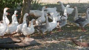 Os gansos pastam em um prado vídeos de arquivo