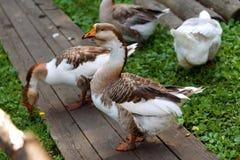 Os gansos que andam na rua e comem a grama Fotografia de Stock Royalty Free