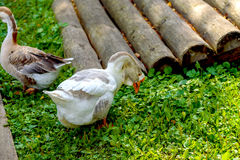 Os gansos que andam na rua e comem a grama Imagens de Stock