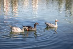 Os gansos que nadam em um lago em Barigui estacionam - Curitiba, Parana, Brasil imagens de stock