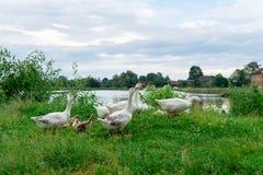 Os gansos retornam em casa após a caminhada na natureza, produção dos animais, Ucrânia fotografia de stock royalty free
