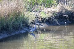 Os gansos reuni-se-rem quando em sua maneira a suas terras do norte foto de stock