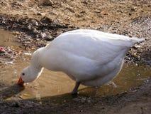 Os gansos são alimentados em natural comendo tudo 2 Imagem de Stock Royalty Free