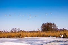 Os gansos selvagens voam no céu azul sobre o rio O retorno dos gansos fotografia de stock