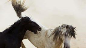 Os garanhões, mustang selvagens tentam dominar as associações, luta dos rivais que arriscam demasiado próximo no deserto de Nevad imagens de stock royalty free