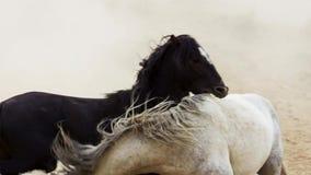 Os garanhões, mustang selvagens tentam dominar as associações, luta dos rivais que arriscam demasiado próximo no deserto de Nevad fotografia de stock