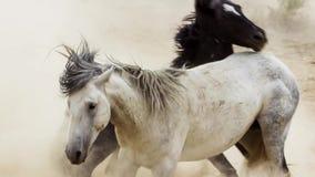 Os garanhões, mustang selvagens tentam dominar as associações, luta dos rivais que arriscam demasiado próximo no deserto de Nevad fotos de stock royalty free