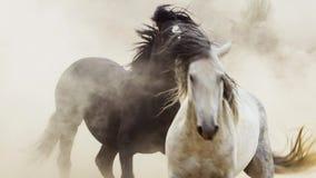 Os garanhões, mustang selvagens tentam dominar as associações, luta dos rivais que arriscam demasiado próximo no deserto de Nevad fotos de stock