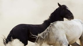 Os garanhões, mustang selvagens tentam dominar as associações, luta dos rivais que arriscam demasiado próximo no deserto de Nevad foto de stock