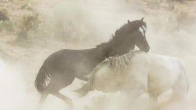 Os garanhões, mustang selvagens tentam dominar as associações, luta dos rivais que arriscam demasiado próximo no deserto de Nevad imagem de stock royalty free