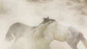 Os garanhões, mustang selvagens tentam dominar as associações, luta dos rivais que arriscam demasiado próximo no deserto de Nevad fotografia de stock royalty free