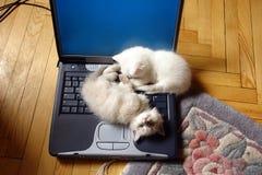 Os gatinhos no computador portátil Fotos de Stock Royalty Free