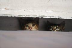 Os gatinhos pequenos curiosos estão escondendo no pavimento Imagem de Stock Royalty Free