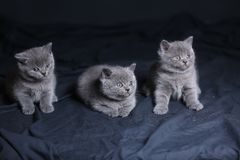 Os gatinhos pequenos jogam na obscuridade, retrato Fotos de Stock Royalty Free