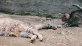 Os gatinhos são jogados com um gato video estoque