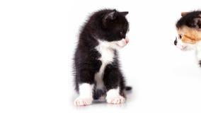 Os gatinhos são observados Imagens de Stock