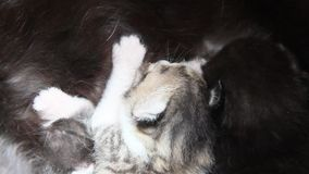 Os gatinhos sugam o leite materno video estoque
