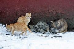 Os gatos comem Imagens de Stock Royalty Free