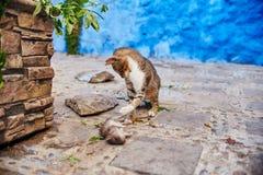 Os gatos dispersos bonitos dormem e andam nas ruas de Marrocos B Fotos de Stock Royalty Free