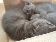 Os gatos do bebê estão dormindo Fotografia de Stock Royalty Free