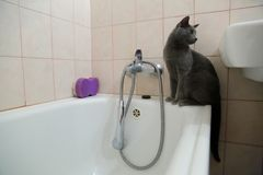Os gatos domésticos são grandes animais de estimação a afagar e abraçar Fotografia de Stock Royalty Free