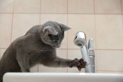 Os gatos domésticos são grandes animais de estimação a afagar e abraçar Fotografia de Stock